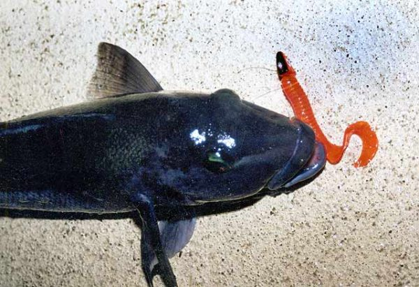 Blue cod taken in Doubtful Sound, Fiordland, on an orange soft bait grub.