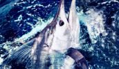 All marlin are tagged at the boat, including those that are kept in case they throw the hook at the boat.