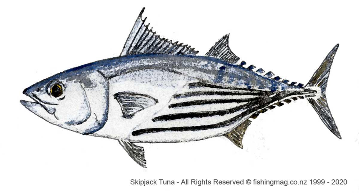 Skipjack Tuna - Katsuwonus pelamis.