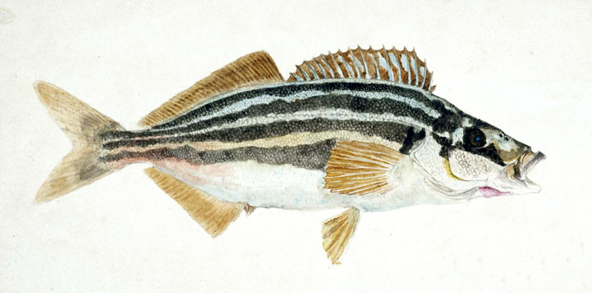 Latris lineata (NZ) : Common Trumpeter, 1867, by Frank Edward Clarke. Purchased 1921. Te Papa (1992-0035-2278/103)