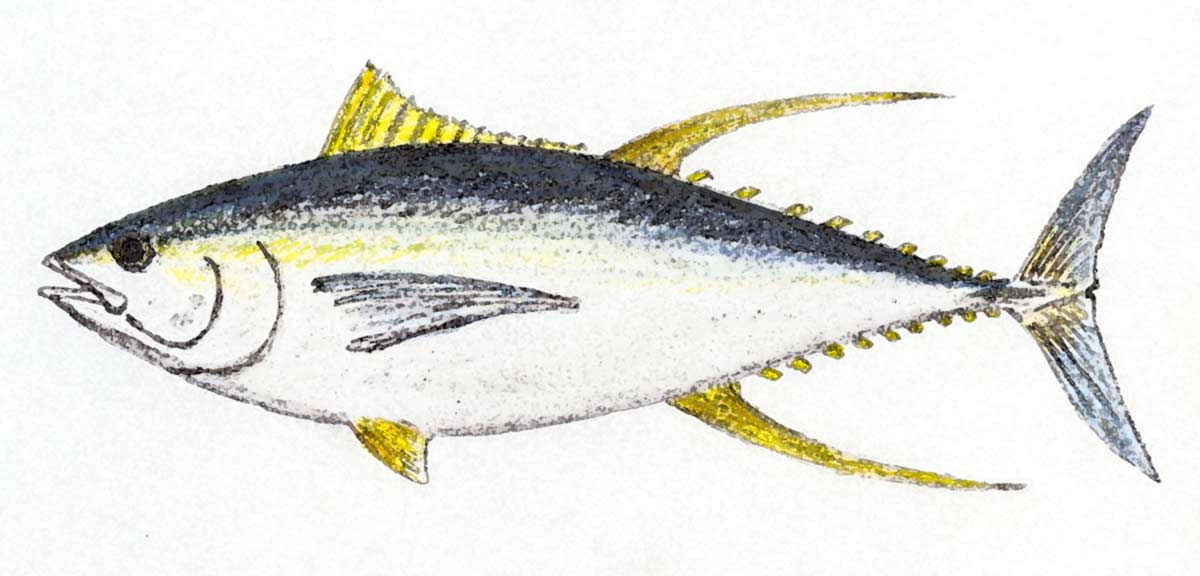 Yellowfin tuna - Thunnus albacores. Older fish may have long second dorsal and anal fins, though this isn't always the case.