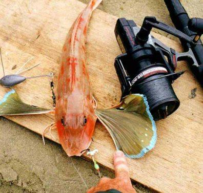 Red Gurnard - Chelidonichthys kumu