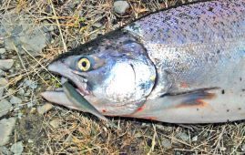 Salmon taken on a soft bait minnow in the Ohau A Canal.