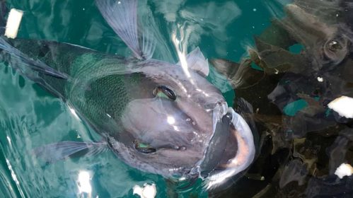 This blue cod is in the Marlborough Sounds. He's a friendly chap. Photograph courtesy of Jenna Stone.