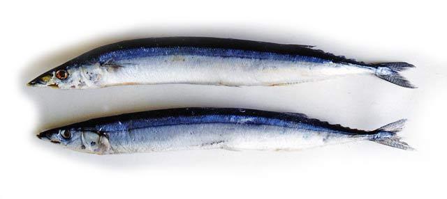 Pacific Saury or Sanma – Cololabis saira. Three Kings Marlin.