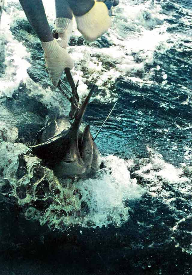 Taking the hooks out of Colin Baldwin's 65kg Black Marlin.