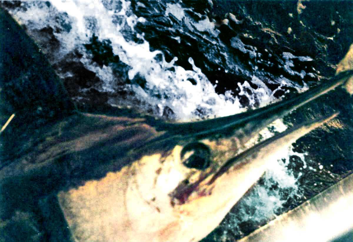 Holding John's marlin ready to let go.