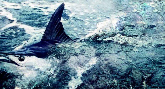 Three Kings Marlin, Yellowfin Tuna, Middlesex Bank