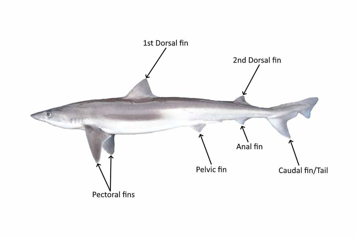 The names of different shark fins. School Shark Tagging Program. School shark photograph courtesy of Clinton Duffy.