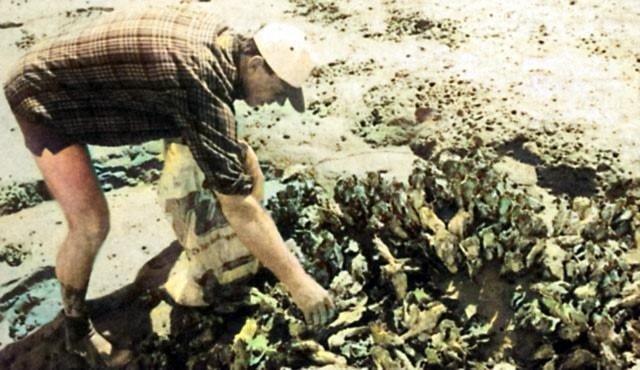 The oysters on the Raglan Harbour mudflats were large, numerous and delicious.