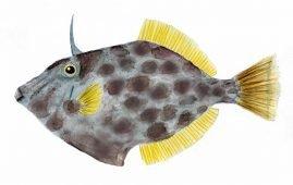 Leatherjacket - Parika scaber - female fish.